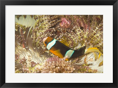 Framed Clark's Anemonefish, Philippines Print