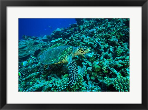 Framed Sea tutle, Southern Maldives, Indian Ocean Print
