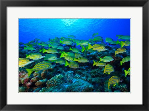 Framed Schooling Bluestripped Snappers, North Huvadhoo Atoll, Southern Maldives, Indian Ocean Print