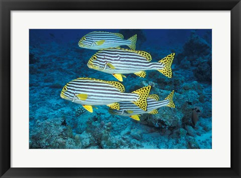 Framed Maldives, Oriental sweetlips Print