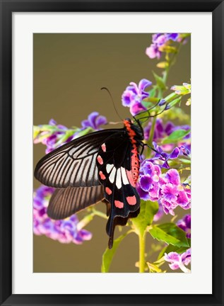 Framed Thailand, Doi Inthanon, Papilio polytes, butterfly Print