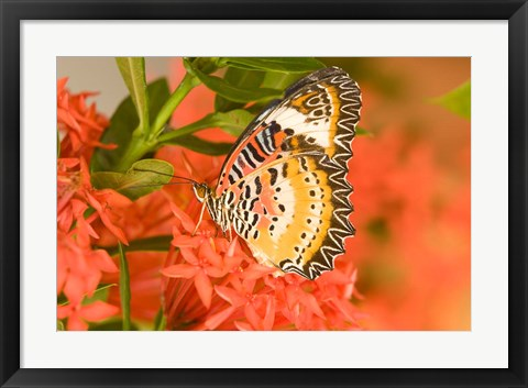Framed Thailand, Nam Nao NP, Leopard Lacewing butterfly Print