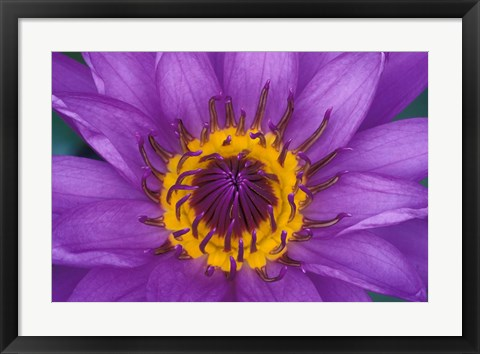 Framed Purple and Yellow Lotus Flower, Bangkok, Thailand Print