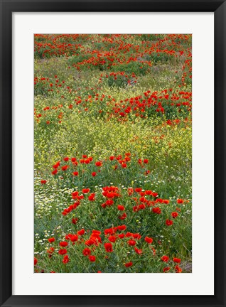 Framed Red Poppy Field in Central Turkey during springtime bloom Print