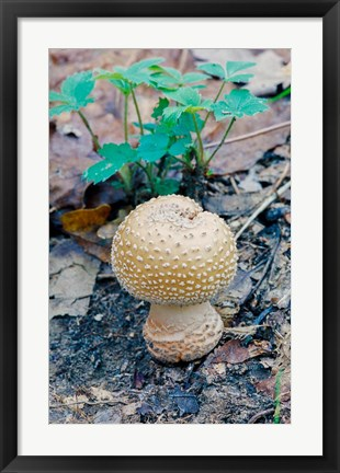 Framed Wild Mushroom Growing in Forest Print