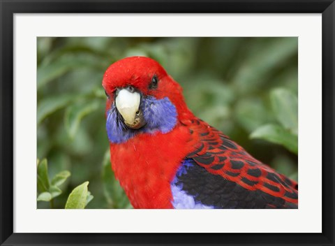 Framed Crimson Rosellas, O'Reilly's Rainforest, Lamington National Park, Queensland, Australia Print