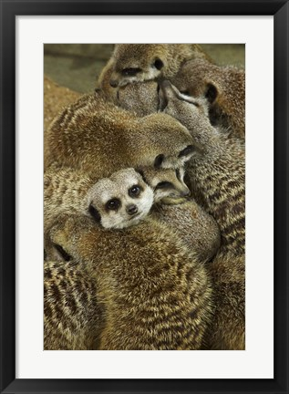 Framed Meerkat Protecting Young, Australia Print