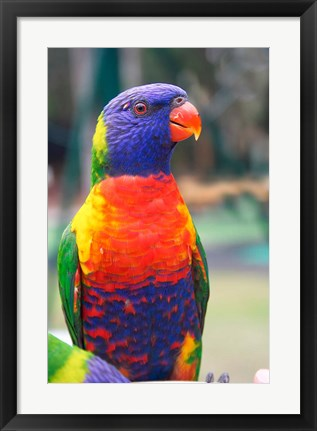 Framed Rainbow Lorikeet, Australia (side view) Print
