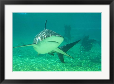 Framed Shark, Sea World, Gold Coast, Queensland, Australia Print