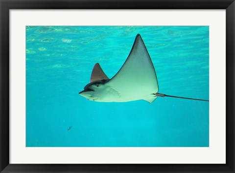 Framed Sting Ray, Sea World, Gold Coast, Queensland, Australia Print