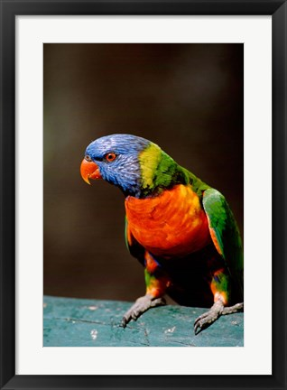Framed Australia, Queensland, Rainbow lorikeet bird Print