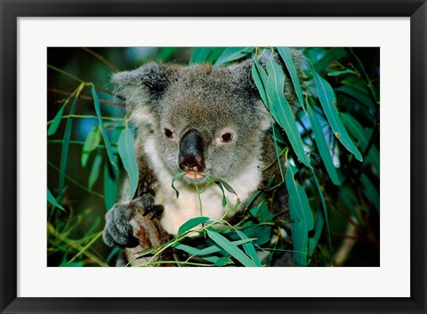 Framed Koala Eating, Rockhampton, Queensland, Australia Print