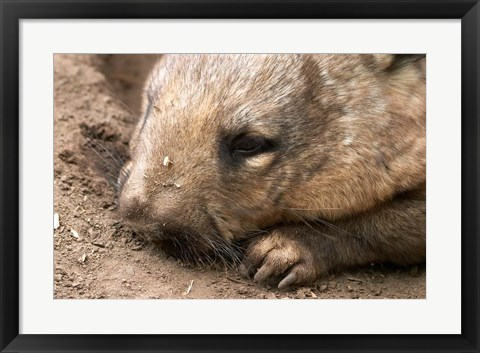 Framed Southern Hairy Nosed Wombat, Australia Print