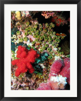Framed Coral, Agincourt Reef, Great Barrier Reef, North Queensland, Australia Print