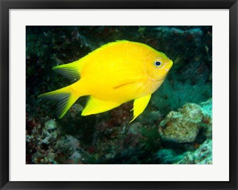 Framed Golden Damsel fish, Great Barrier Reef, Australia Print