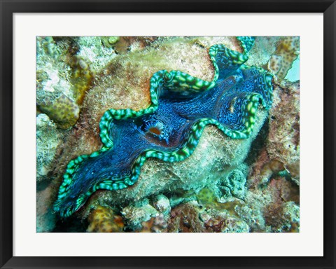 Framed Outlet Siphon, Giant Clam, Agincourt Reef, Great Barrier Reef, North Queensland, Australia Print