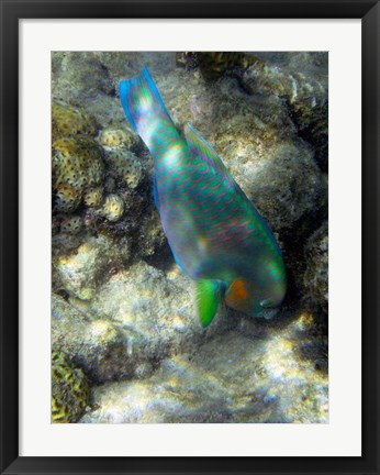 Framed Surf Parrotfish, Low Isles, Great Barrier Reef, Australia Print