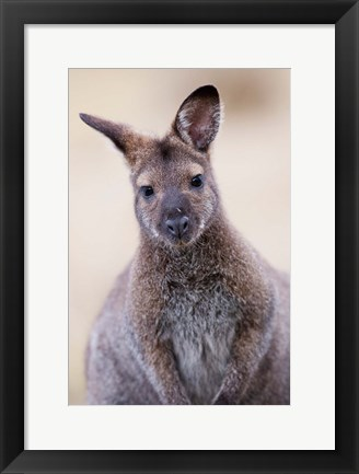 Framed Close up of Red-necked and Bennett's Wallaby wildlife, Australia Print