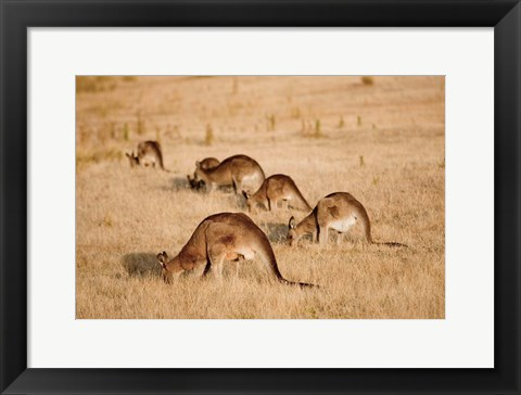 Framed Eastern Grey Kangaroo group grazing Print
