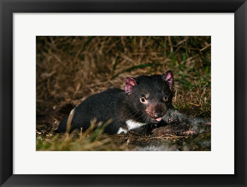 Framed Tasmanian Devil wildlife eating carrion, Tasmania Print