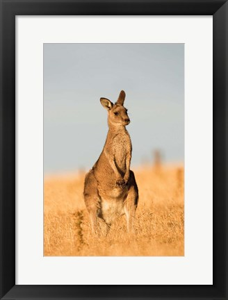 Framed Eastern Grey Kangaroo portrait during sunset Print