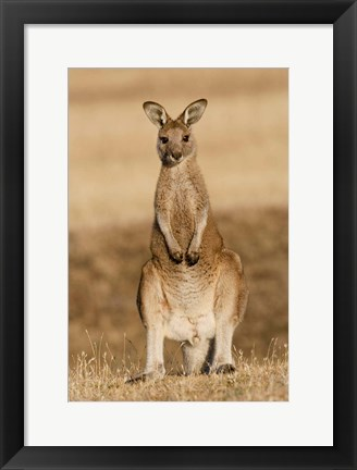 Framed Eastern Grey Kangaroo portrait frontal Print