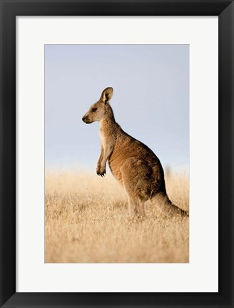 Framed Eastern Grey Kangaroo portrait lateral view Print