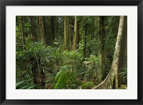 Framed Australia, NSW, Rainforest Trees, Wonga Walk, Dorrigo NP Print
