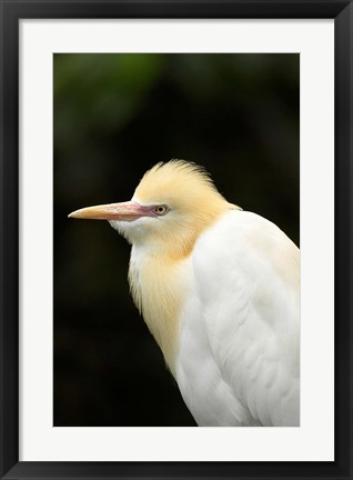 Framed Cattle Egret (Ardea ibis), North Queensland, Australia Print