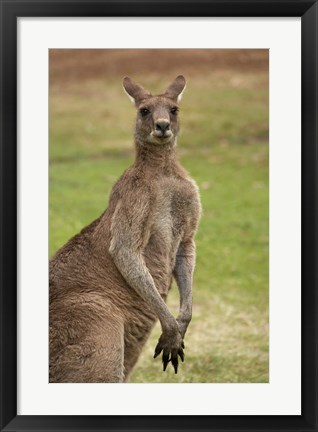 Framed Kangaroo, Trial Bay, New South Wales, Australia Print