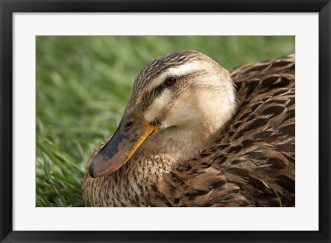 Framed Duck, Richmond, Tasmania, Australia Print