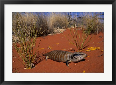 Framed Blue-tongued Skink lizard, Ayers Rock, Australia Print