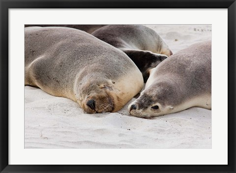 Framed Australian Sea Lion, Kangaroo Island, South Australia Print