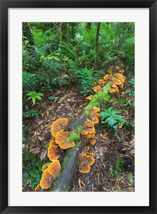 Framed Eucalyptus forest with epiphytes, Great Otway National Park, Victoria, Australia Print