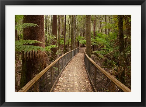 Framed Tall Trees Walk, Mount Field National Park, Tasmania, Australia Print