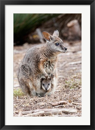 Framed Tammar wallaby wildlife, Australia Print