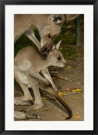 Framed Eastern Grey Kangaroo with baby, Queensland AUSTRALIA Print