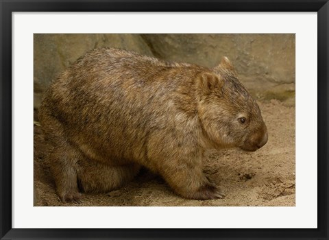 Framed Common Wombat, baby in pouch, captive, Australia Print