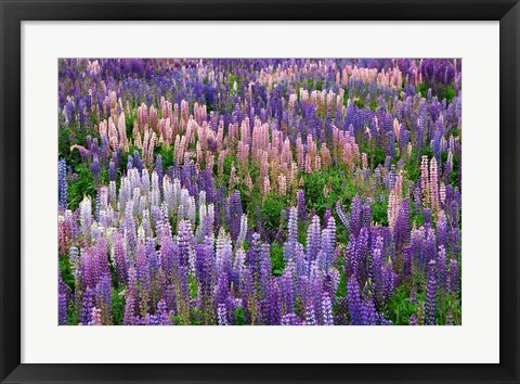 Framed Lupine flowers in Fiordland National Park, South Island, New Zealand Print