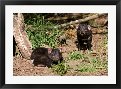 Framed Pair of Tasmanian Devils Print