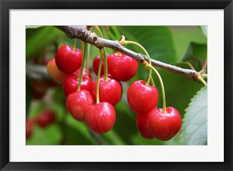 Framed Cherries, Orchard near Cromwell, Central Otago, South Island, New Zealand Print