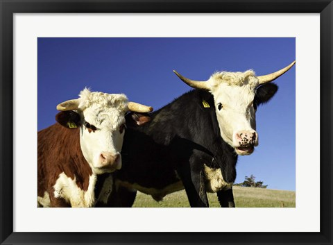 Framed Dairy Cows, New Zealand Print