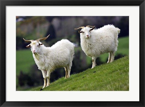 Framed Pair of Goats, Taieri, South Island, New Zealand Print