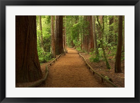 Framed Path through Redwood Forest, Rotorua, New Zealand Print