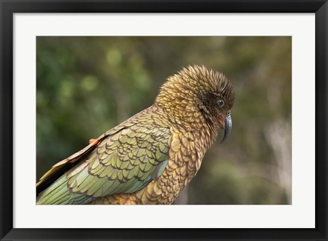 Framed Kea, New Zealand Alpine Parrot, South Island, New Zealand Print