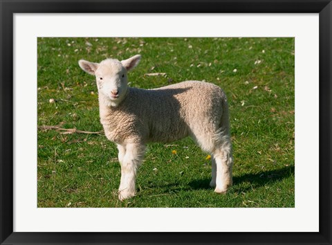 Framed New Lamb, South Island, New Zealand Print