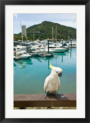 Framed Australia, Sulphur Crested Cockatoo tropical bird Print
