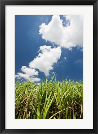 Framed Australia, Whitsunday, Pioneer Valley, Sugar Cane Print