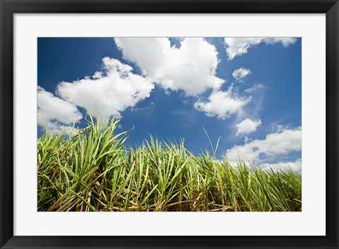 Framed Pioneer Valley-Sugar Cane Field, , Marian, Whitsunday Coast, Queensland Print