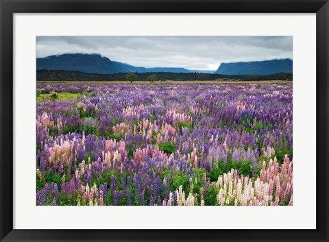 Framed Blooming Lupine Near Town of TeAnua, South Island, New Zealand Print